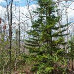 Red Spruce on John Rock