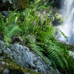 Ferns on Rock Outcrop at Twin Boulder Falls