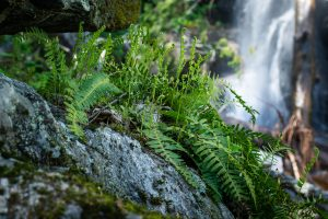 Ferns on Rock Outcrop at Twin Boulder Falls