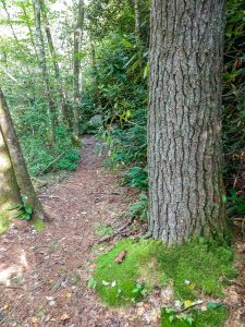 White Pine on the North Harper Creek Trail