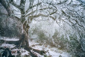 Rime Ice on Tree at Craggy Gardens