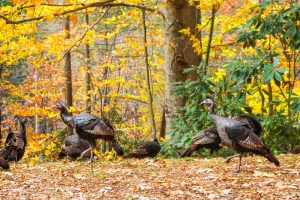 Wild Turkeys and Fall Color