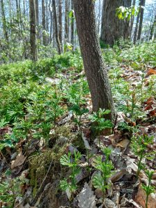 Club Moss on the Buckwheat Knob Trail