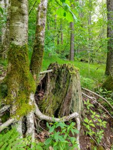 Birch Roots and Sedges Around a Mossy Stump