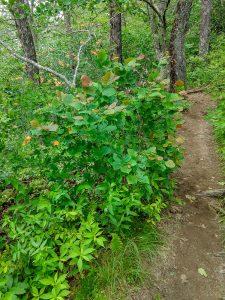 Witch Hazel and Flame Azalea on the Whiteside Mountain Trail