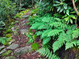 Ferns Beside Appalachian Trail