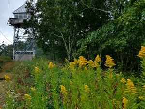 Goldenrod near the Cowee Bald Fire Tower