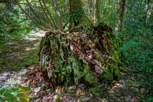 Enormous Ancient Stump
