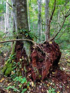 Tree on Old Stump