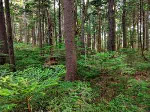 Red Spruce Forest Along the Buncombe Horse Range Trail