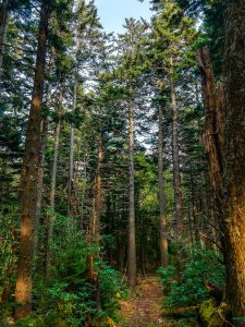 Stand of Red Spruce on the Buncombe Horse Range Trail