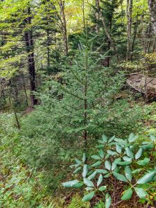 Young Spruce and Rhododendron Beside the Buncombe Horse Range Trail