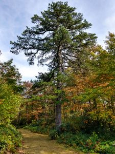 Pitch Pine in Fal