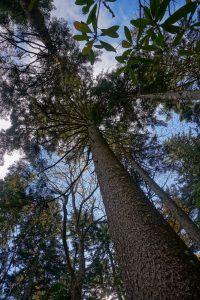 Red Spruce on the Heartbreak Ridge Trail
