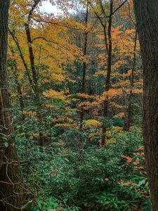 The Forest near Toms Creek Falls in Fall Color