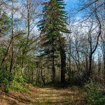 Red Spruce along FS 482B