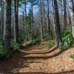 Grove of White Pine on FS 482B