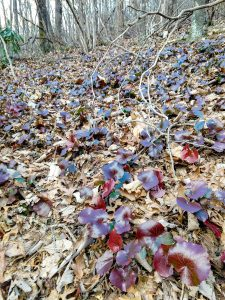 Red Galax Leaves on the Youngs Ridge Trail