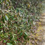 Carolina Rhododendron