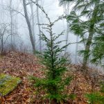Carolina Hemlock on Bearwallow Mountain