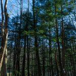 Eastern Hemlock Grove in Black Mountain Campground