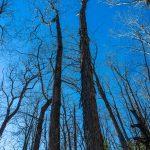 Shagbark Hickory on Devils Den Nature Trail