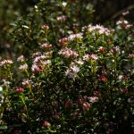 Sand Myrtle on the Mountains to Sea Trali
