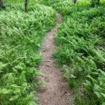 River Loop Trail Curving Through the Ferns