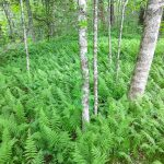 Tree Trunks and Ferns