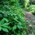 Turtleheads Beside the Buncombe Horse Range Trail