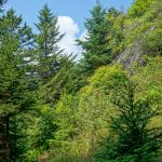 Clearing on the Mount Mitchell Trail