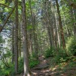 Spruce Grove on the Mount Mitchell Trail